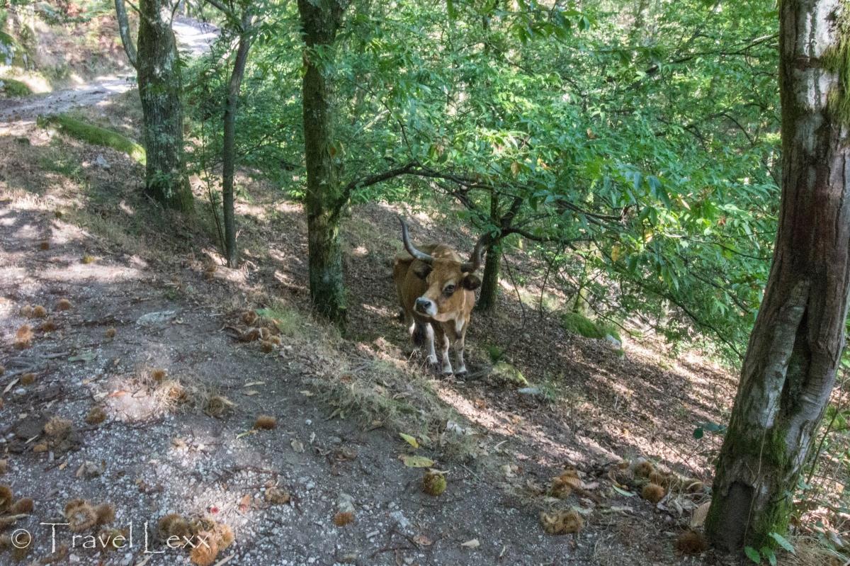 Cow - Hiking in Peneda-Gerês National Park