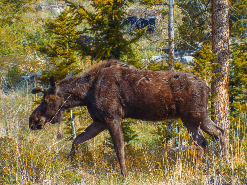 Moose - 8 Reasons You Should Visit Yellowstone National Park