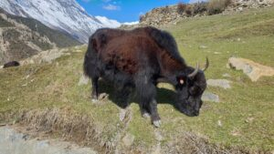 A yak grazing on a hillside