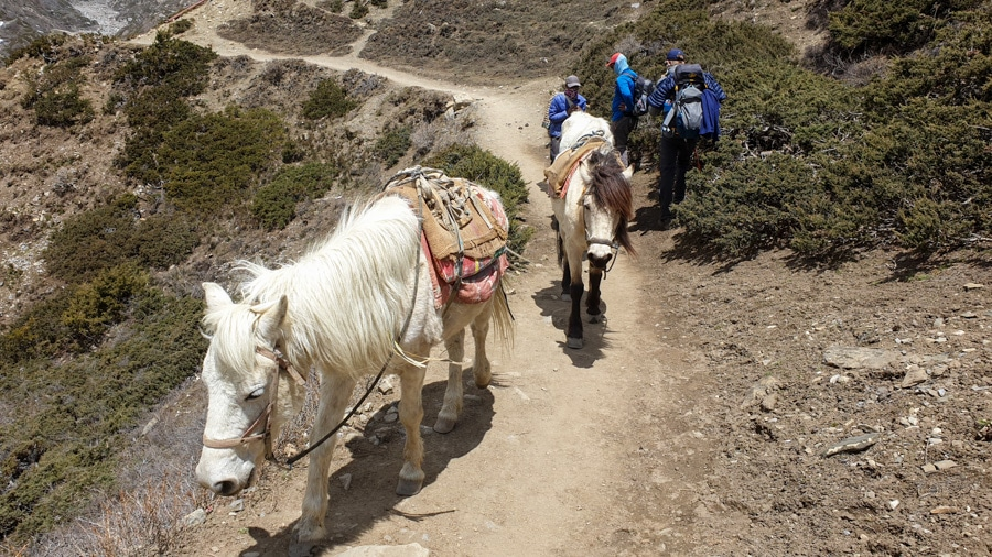 Two mules walking along a path from Manang to Yak Kharka