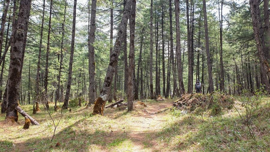 Sun shining through a dense pine forest