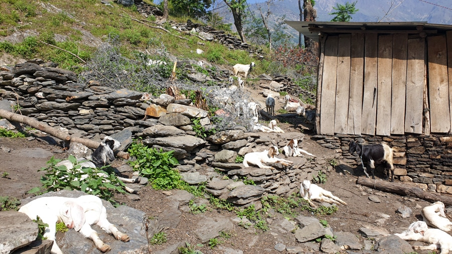 Goats lying in the sun next to a sheda